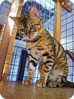 Bengal Cat for adoption in Davis, California - Simba