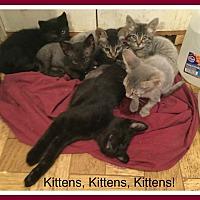 Adopt A Pet :: KITTENS - Malvern, AR