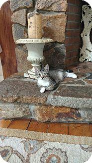 Domestic Shorthair Cat for adoption in Acushnet, Massachusetts - Sprout