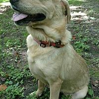 Adopt A Pet :: Lily - Capon Bridge, WV