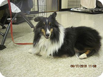 Sheltie, Shetland Sheepdog Dog for adoption in apache junction, Arizona - Eddie