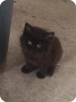 Persian Kitten for adoption in Lodi, California - Dusty