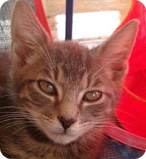 Domestic Shorthair Kitten for adoption in Brimfield, Massachusetts - Freddy