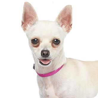 Chihuahua Mix Dog for adoption in Los Angeles, California - Cindy Lu Who