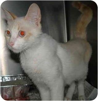 Siamese Cat for adoption in Honesdale, Pennsylvania - Boo