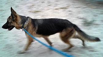 German Shepherd Dog Dog for adoption in SAN ANTONIO, Texas - TIKA