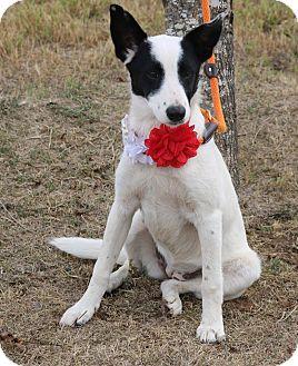German Shepherd Dog/Labrador Retriever Mix Puppy for adoption in Denver, Colorado - Nancy