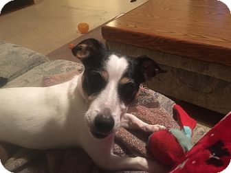 Jack Russell Terrier Dog for adoption in Blue Bell, Pennsylvania - JJ