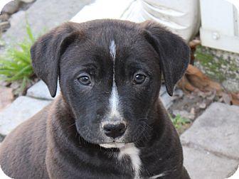 Labrador Retriever/Terrier (Unknown Type, Medium) Mix Puppy for adoption in kennebunkport, Maine - Waldo