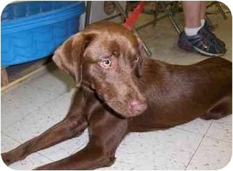 Labrador Retriever Puppy for adoption in Overland Park, Kansas - Hershey