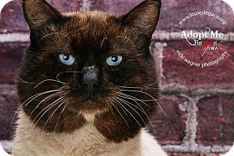 Siamese Cat for adoption in Cincinnati, Ohio - Alastair