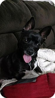 Chihuahua/Terrier (Unknown Type, Small) Mix Dog for adoption in Columbus, Ohio - Emma