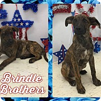 Adopt A Pet :: Brindle Brothers - Corinth, NY