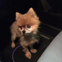 Pomeranian Mix Dog for adoption in La Plata, Maryland - Simba