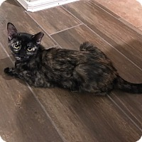 Domestic Shorthair Kitten for adoption in Chandler, Arizona - Lexi