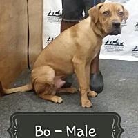 Labrador Retriever/Boxer Mix Dog for adoption in Waycross, Georgia - Bo