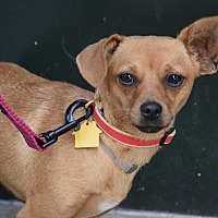 Adopt A Pet :: Cleo - New York, NY