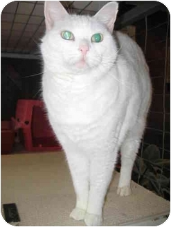 Domestic Shorthair Cat for adoption in Hayden, Idaho - Boston