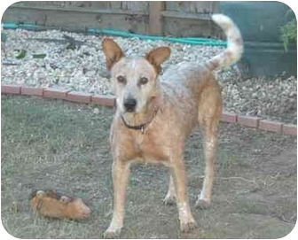 Australian Cattle Dog Dog for adoption in Tracy, California - Harley