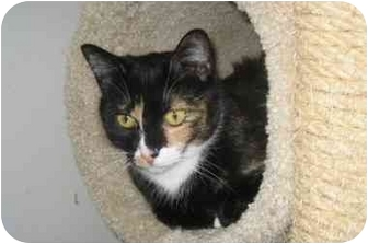 Calico Cat for adoption in Colmar, Pennsylvania - Cammee