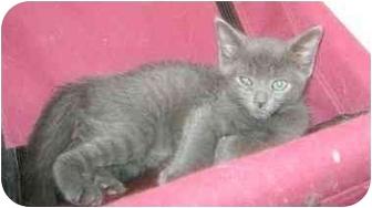 Domestic Shorthair Kitten for adoption in Etobicoke, Ontario - kittens