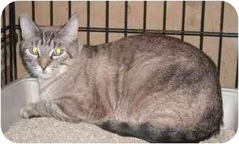 Siamese Cat for adoption in Newburgh, Indiana - Luna