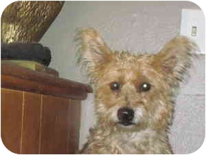Cairn Terrier/Yorkie, Yorkshire Terrier Mix Puppy for adoption in harrah, Oklahoma - Princess