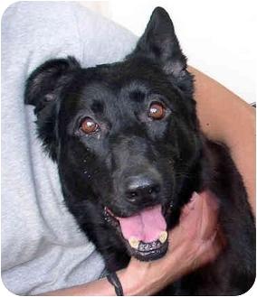 German Shepherd Dog Dog for adoption in Berkeley, California - Felicia