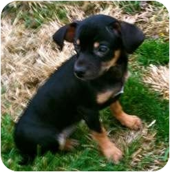 Chihuahua/Dachshund Mix Puppy for adoption in Rochester Hills, Michigan - Clarabelle (blind)