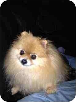 Pomeranian Dog for adoption in Kokomo, Indiana - Logan