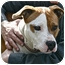 Photo 4 - American Pit Bull Terrier Puppy for adoption in Berkeley, California - Tulip