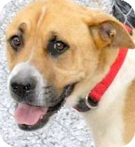 Boxer/Foxhound Mix Dog for adoption in Pawling, New York - OSCAR(GORGEOUS DANE MIX!!