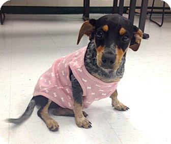 Australian Cattle Dog Mix Dog for adoption in Corpus Christi, Texas - Demi