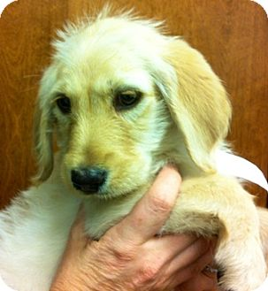 Labradoodle Mix Puppy for adoption in Oswego, Illinois - I'M ADPTDMHO Ltr Macey Fitzgrd