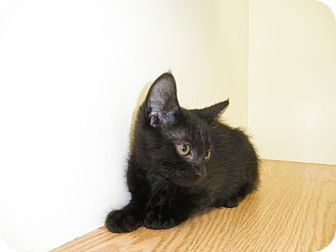 Domestic Shorthair Kitten for adoption in Milwaukee, Wisconsin - Myana
