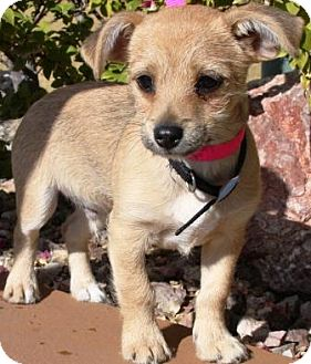 Wirehaired Pointing Griffon/Border Terrier Mix Puppy for adoption in Gilbert, Arizona - Jimmy