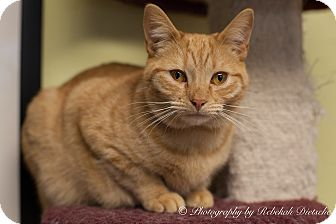 Domestic Shorthair Cat for adoption in Byron Center, Michigan - Neville