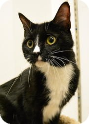 Domestic Shorthair Cat for adoption in Farmington, Minnesota - Egypt  **I'm Overlooked!!**