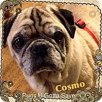 Adopt A Pet :: Cosmo - Chesterfield, VA