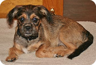 Shih Tzu/Miniature Pinscher Mix Puppy for adoption in Umatilla, Florida - Preacher Man