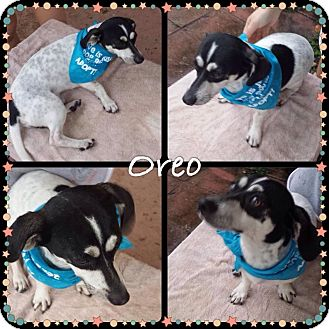 Dachshund Mix Dog for adoption in Fort Lauderdale, Florida - Oreo