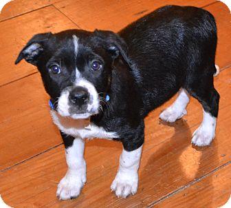 Labrador Retriever Mix Puppy for adoption in Milton, New York - Sammy