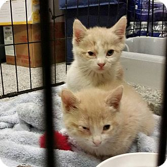 Domestic Shorthair Kitten for adoption in Randolph, New Jersey - Sampson and Butterscotch