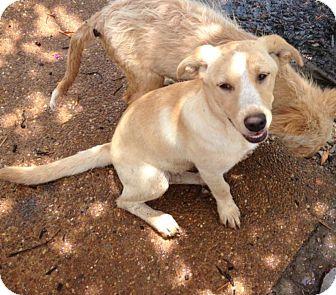 Labrador Retriever Mix Puppy for adoption in Murfreesboro, Tennessee - Cloe