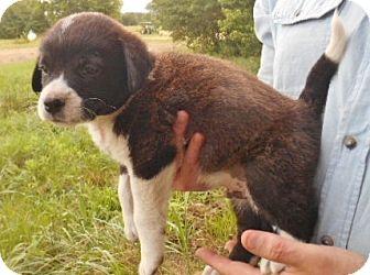 Labrador Retriever Mix Puppy for adoption in New York, New York - Ella