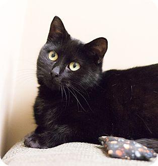 Bombay Cat for adoption in Chicago, Illinois - Frieda