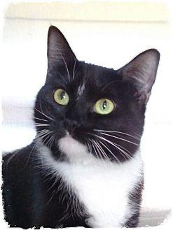 Domestic Shorthair Cat for adoption in Pueblo West, Colorado - kyle