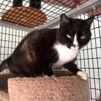 Domestic Shorthair Cat for adoption in Diamond Springs, California - Monica
