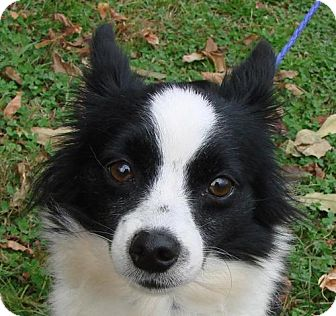 Chihuahua Mix Dog for adoption in Erwin, Tennessee - Lilla