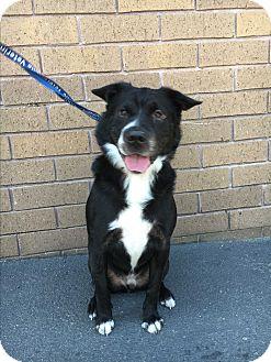 Border Collie/Shar Pei Mix Dog for adoption in Lafayette, California - Bobbie